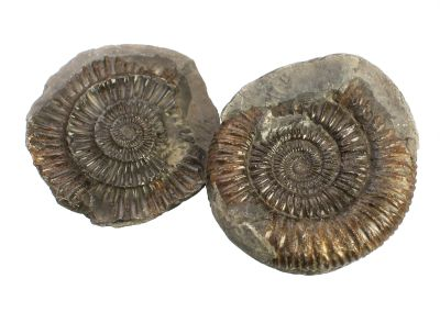 Ammonit: Dactylioceras